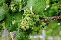 Wino, przekąski, hamak i relaks czyli w amerykańskiej winnicy