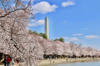 Cherry Blossom Festival czyli Festiwal Kwitnącej Wiśni