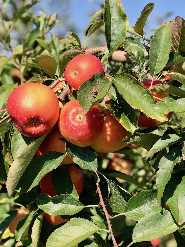amerykańska jesień w pełni, dojrzałe jabłka na drzewie